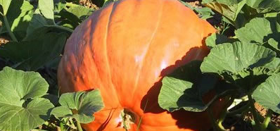 Nash Ranch Pumpkin Patch